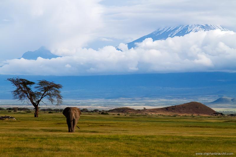 Lone Bull with Kilimanjaro