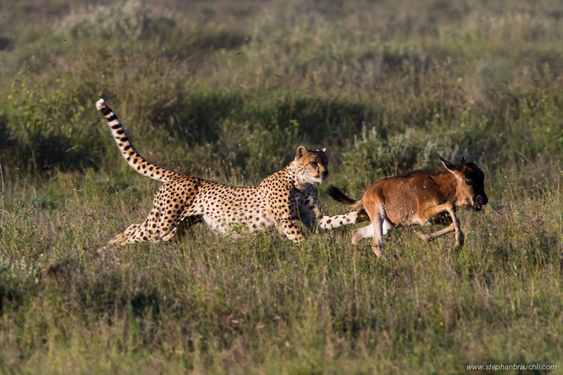 Cheetah Hunt