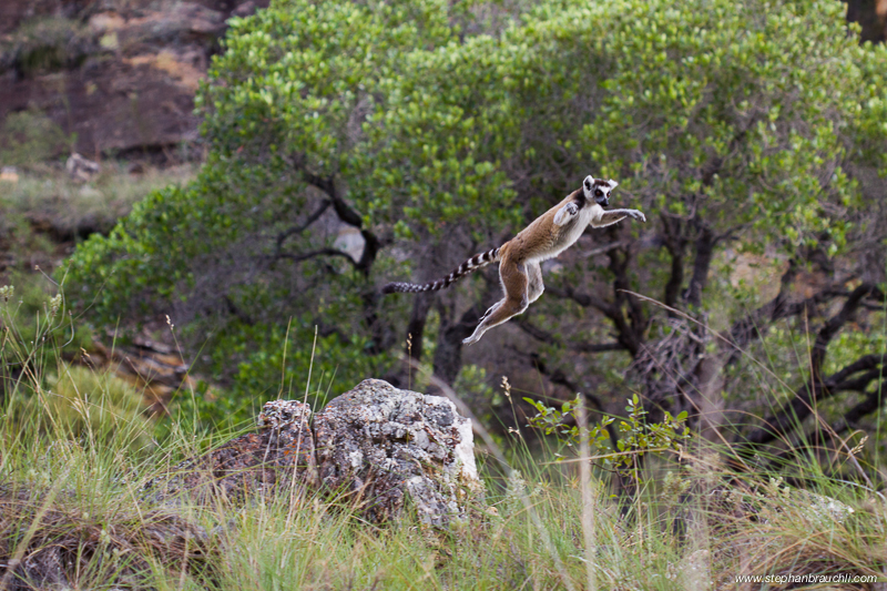 Ring-tailed Lemur Jumping