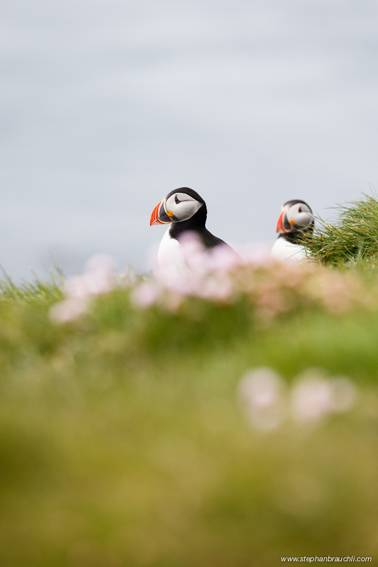 Puffins in Pink