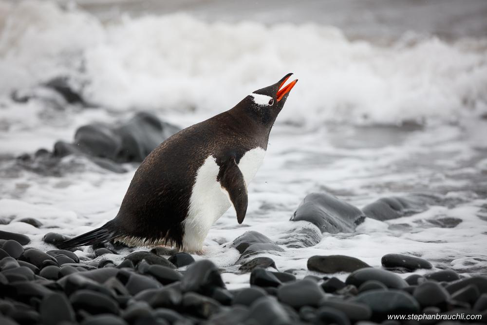 Drinking Penguin